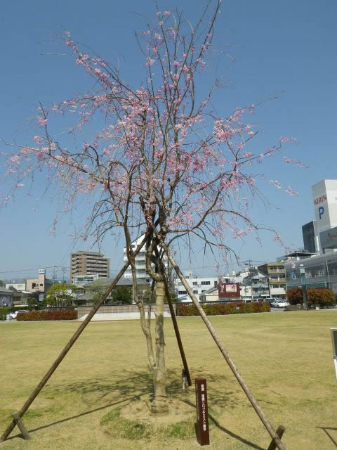 記念樹植栽(諫早市)